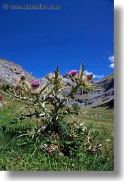 europe, flowers, mountains, nature, ordesa, purple, spain, thistle, vertical, photograph