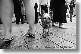 black and white, europe, geneva, horizontal, switzerland, terrier, photograph