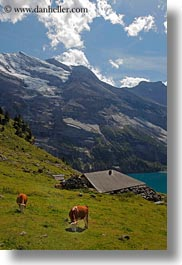 clouds, cows, europe, kandersteg, lake oeschinensee, mountains, nature, sky, snowcaps, switzerland, vertical, photograph