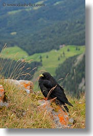 birds, black, europe, lucerne, mt pilatus, switzerland, vertical, photograph