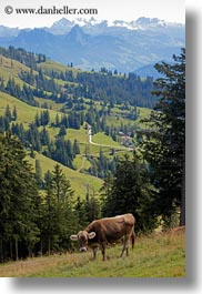 cows, europe, lucerne, mt rigi, switzerland, vertical, photograph