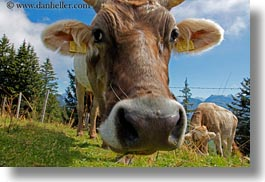 cows, europe, horizontal, lucerne, mt rigi, switzerland, photograph