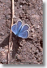blues, butterflies, europe, switzerland, vertical, photograph