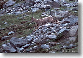 chamois, europe, horizontal, run, switzerland, photograph