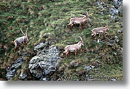 europe, horizontal, ibex, switzerland, photograph