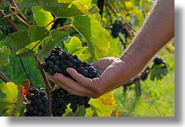 europe, grapes, hands, holding, horizontal, montreaux, red, switzerland, vines, photograph