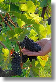 europe, grapes, hands, holding, montreaux, red, switzerland, vertical, vines, photograph