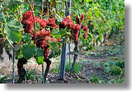 europe, grapes, horizontal, montreaux, roses, switzerland, vines, photograph