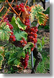 europe, grapes, montreaux, roses, switzerland, vertical, vines, photograph