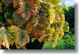 europe, grapes, horizontal, montreaux, switzerland, vines, white, photograph