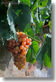 europe, grapes, montreaux, switzerland, vertical, vines, white, photograph