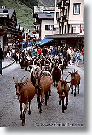 europe, goats, switzerland, vertical, zermatt, photograph