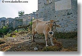 architectural ruins, cows, europe, horizontal, kaya koy, turkeys, photograph