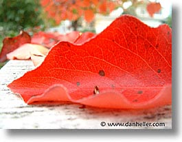 fujipix, red, macro, horizontal, leaf, fujipix, red, macro, leaf, photograph