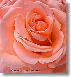 rose, closeup, plants, fujipix, horizontal, closeup, rose, plants, fujipix, photograph