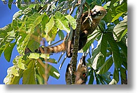 animals, argentina, coati, horizontal, iguazu, latin america, mundi, photograph
