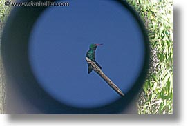 animals, argentina, bellied, emerald, gliterring, glittering, horizontal, hummingbird, iguazu, latin america, photograph