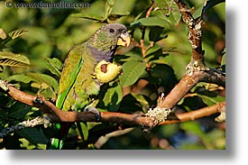 animals, argentina, green, horizontal, iguazu, latin america, parrots, photograph