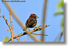 animals, argentina, crested, finch, horizontal, iguazu, latin america, red, photograph