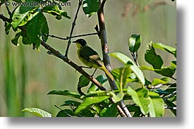 animals, argentina, horizontal, iguazu, latin america, warbler, yellowthroat, photograph