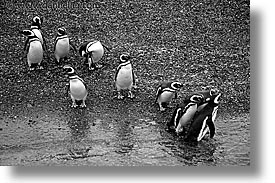 argentina, black and white, horizontal, latin america, penguins, tierra del fuego, photograph