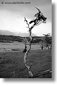 argentina, black and white, branches, latin america, skulls, tierra del fuego, vertical, photograph
