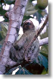 animals, costa rica, latin america, sloth, vertical, photograph