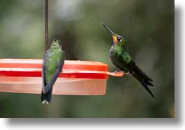 birds, costa rica, horizontal, humming, latin america, photograph