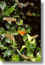 butterflies, costa rica, latin america, vertical, photograph