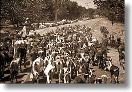 caribbean, crossing, cuba, east cuba, goats, horizontal, island nation, islands, latin america, santiago, photograph