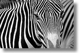 animals, black and white, caribbean, cuba, havana, horizontal, island nation, islands, latin america, south america, wild animals, zebra, zoo, photograph