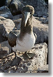 animals, birds, boobies, ecuador, equator, galapagos, galapagos islands, islands, juvenile, latin america, masked, pacific ocean, south pacific, vertical, wild, photograph