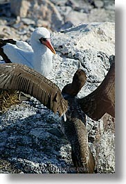 animals, birds, boobies, ecuador, equator, fight, galapagos, galapagos islands, islands, juvenile, latin america, masked, pacific ocean, south pacific, vertical, wild, photograph