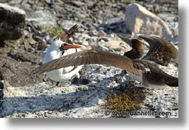 animals, birds, boobies, ecuador, equator, fight, galapagos, galapagos islands, horizontal, islands, juvenile, latin america, masked, pacific ocean, south pacific, wild, photograph