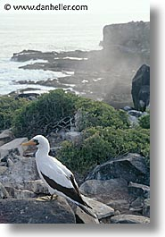 animals, birds, boobies, ecuador, equator, galapagos, galapagos islands, islands, latin america, masked, pacific ocean, south pacific, vertical, wild, photograph