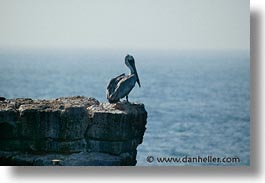 animals, birds, cliffs, ecuador, equator, galapagos, galapagos islands, horizontal, islands, latin america, pacific ocean, pelicans, perch, south pacific, wild, photograph