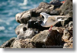 animals, birds, ecuador, equator, galapagos, galapagos islands, gull, horizontal, islands, latin america, pacific ocean, south pacific, swallowtail, swallowtail gull, wild, photograph