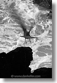 animals, birds, black and white, ecuador, equator, galapagos, galapagos islands, gull, islands, latin america, pacific ocean, south pacific, swallowtail, swallowtail gull, vertical, wild, photograph