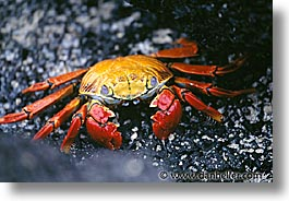 crabs, ecuador, equator, galapagos, galapagos islands, horizontal, islands, latin america, pacific ocean, south pacific, photograph