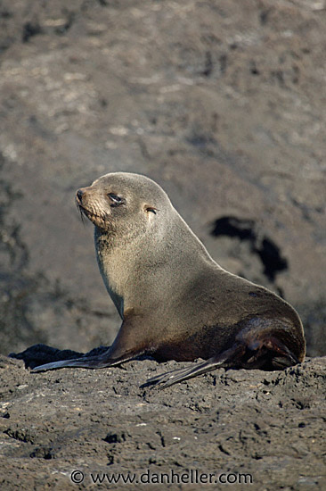antarctic fur seal essay Antarctic fur seals were formerly considered a subspecies of arctocephalus  tropicalis and were known as a t gazella (repenning et al 1971) rice (1998).