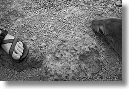 black and white, ecuador, equator, feet, galapagos, heads, horizontal, islands, latin america, pacific ocean, sea lions, south pacific, photograph