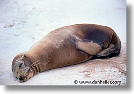 ecuador, equator, galapagos, horizontal, islands, latin america, lazy, pacific ocean, sea lions, south pacific, photograph