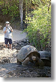 ecuador, equator, galapagos, galapagos islands, islands, latin america, pacific ocean, south pacific, turtles, vertical, photograph