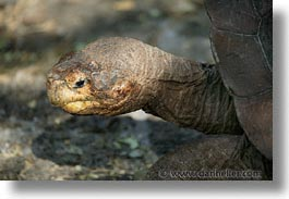 ecuador, equator, galapagos, galapagos islands, horizontal, islands, latin america, pacific ocean, south pacific, turtles, photograph