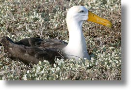 albatross, birds, ecuador, equator, galapagos islands, horizontal, latin america, photograph
