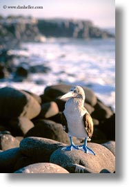 birds, blues, boobies, ecuador, equator, footed boobies, galapagos islands, latin america, vertical, photograph
