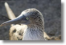 birds, blues, boobies, closeup, ecuador, equator, footed boobies, galapagos islands, horizontal, latin america, photograph
