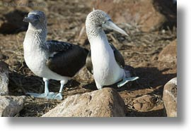birds, blues, boobies, dance, ecuador, equator, footed boobies, galapagos islands, horizontal, latin america, photograph
