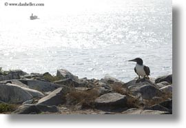 birds, blues, boobies, ecuador, equator, footed boobies, galapagos islands, horizontal, latin america, rocks, photograph