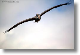 birds, brown pelican, browns, ecuador, equator, flying, galapagos islands, horizontal, latin america, pelicans, photograph